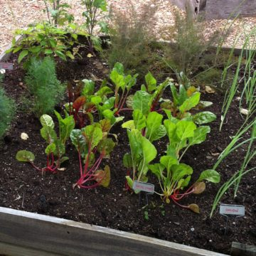 Chard and herbs growing in raised bed garden