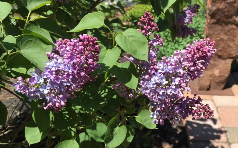 Spring-Blooming Shrubs for Small Gardens