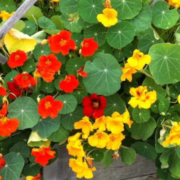 Red and yellow trumpet shaped flowers in a kitchen garden