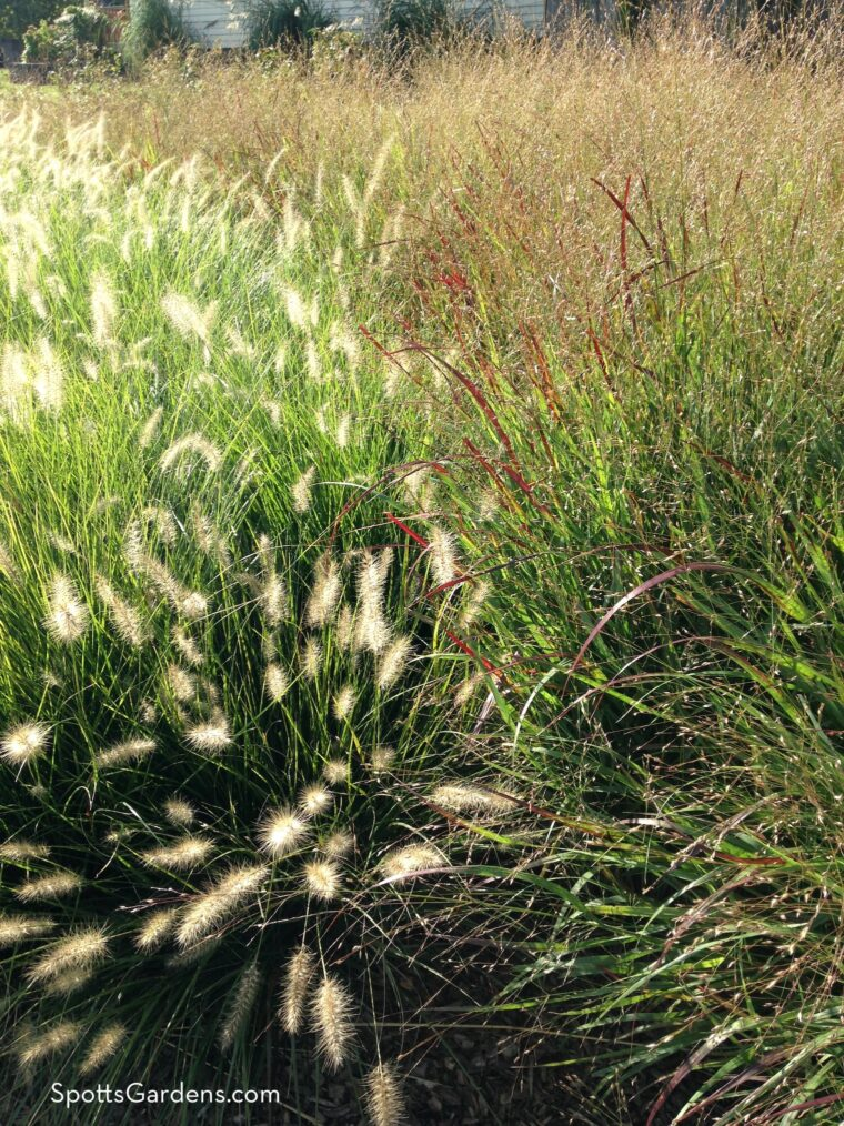 Swichgrass and fountaingrass planted together