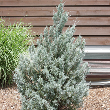 Juniperus Scoparium