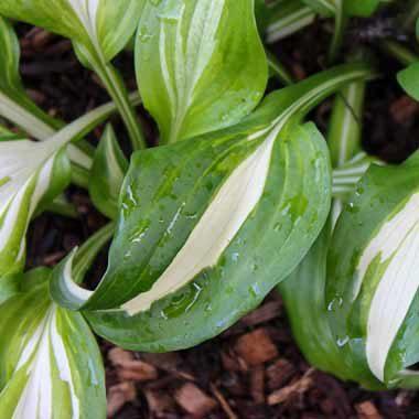 Hosta cultivars