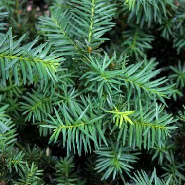 Taxus densiformis