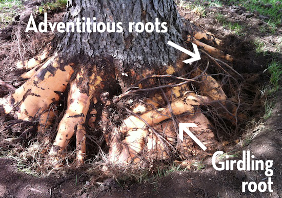 Adventitious and Girdling Roots