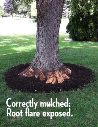 Correctly Mulched Tree