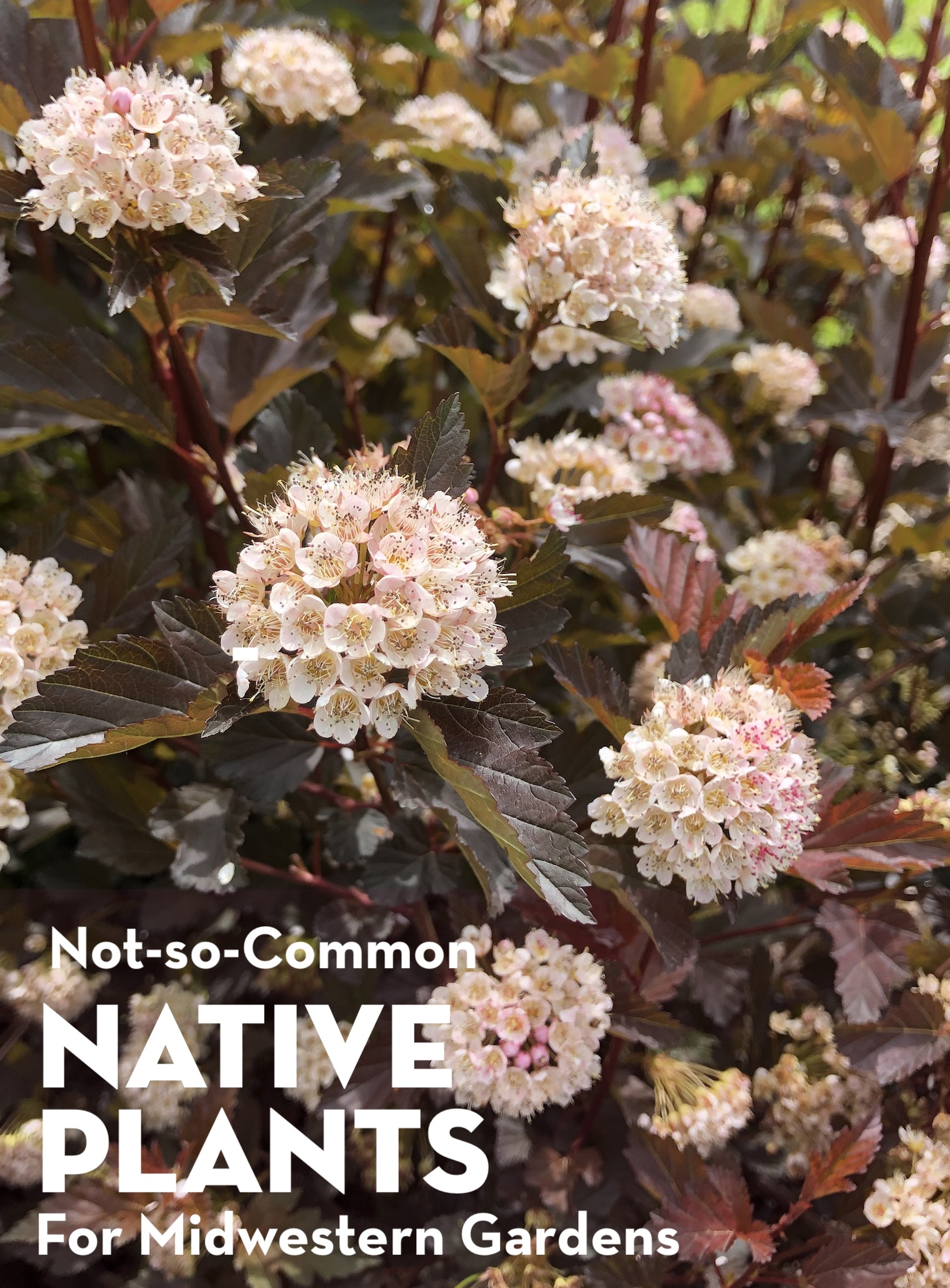 Not-So-Common Native Plants for Midwestern Gardens