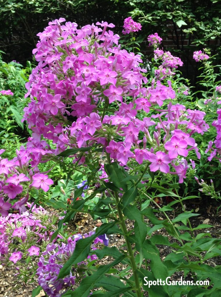 Pink-purple Phlox paniculata, an Indiana native