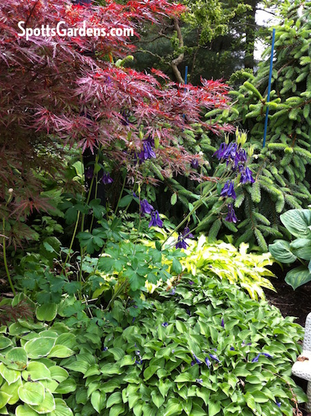 Part-shade garden with Japanese maple, hosta, and columbine.