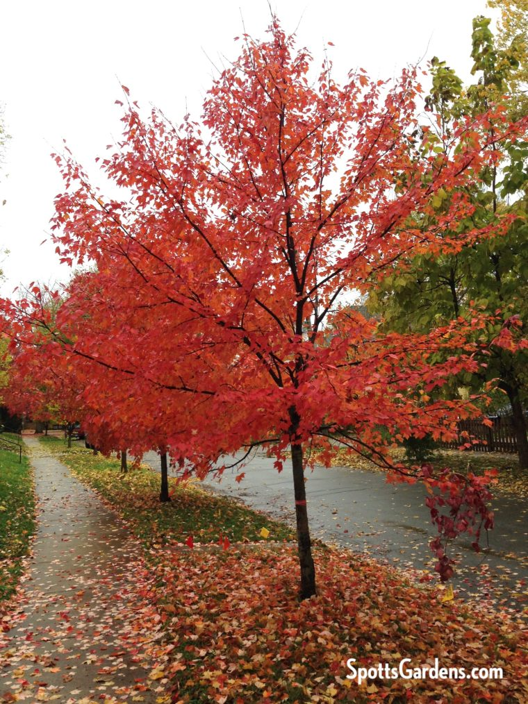 Fall tree with red leaves