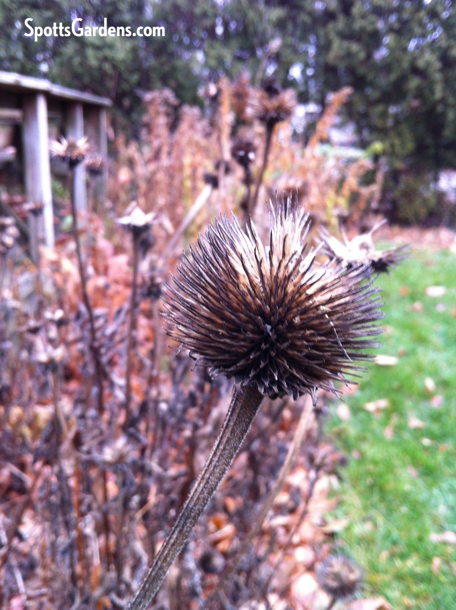 Coneflower seed head