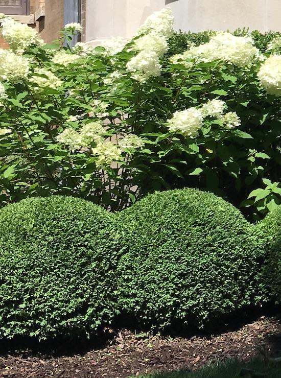 Sheared boxwood shrubs and hydrangea