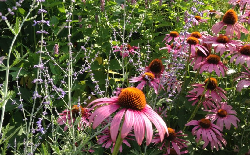 Native Perennials for Midwestern Gardens