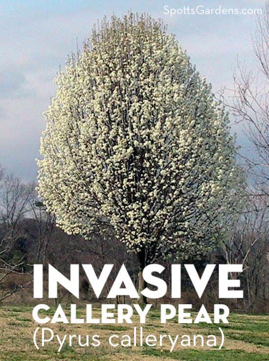Invasive Callery Pear (Pyrus calleryana)
