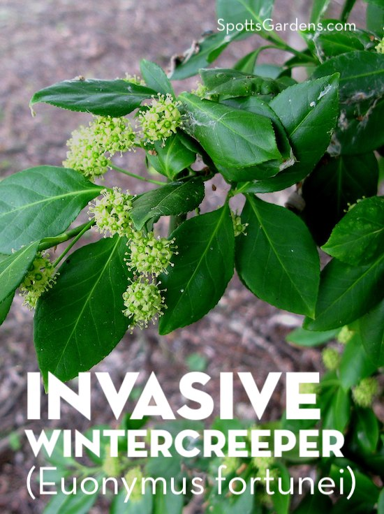 Invasive Wintercreeper (Euonymus fortunei)