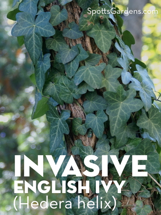 Invasive English Ivy (Hedera helix)