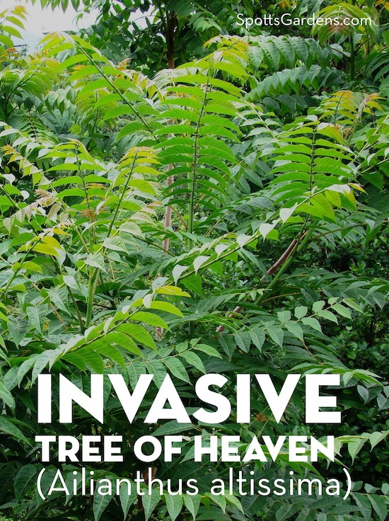Invasive Tree of Heaven (Ailianthus altissima)