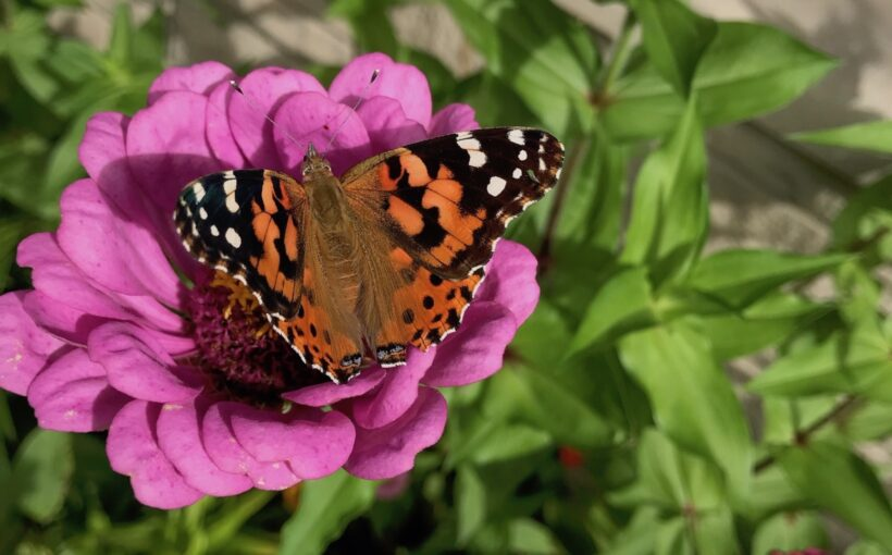 Direct Sowing Annual Flowers for Abundant Gardens