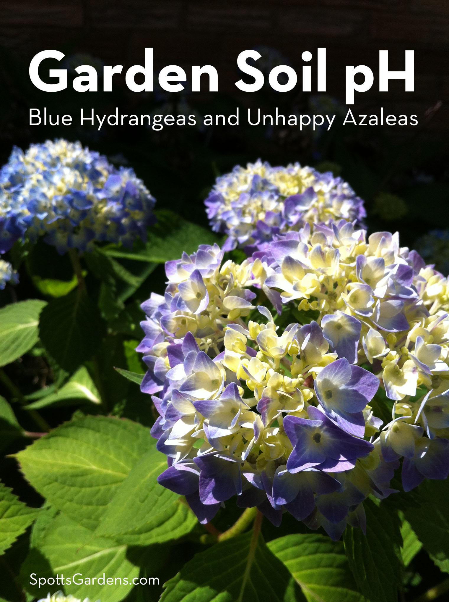 Garden Soil pH: Blue Hydrangeas and Unhappy Azaleas