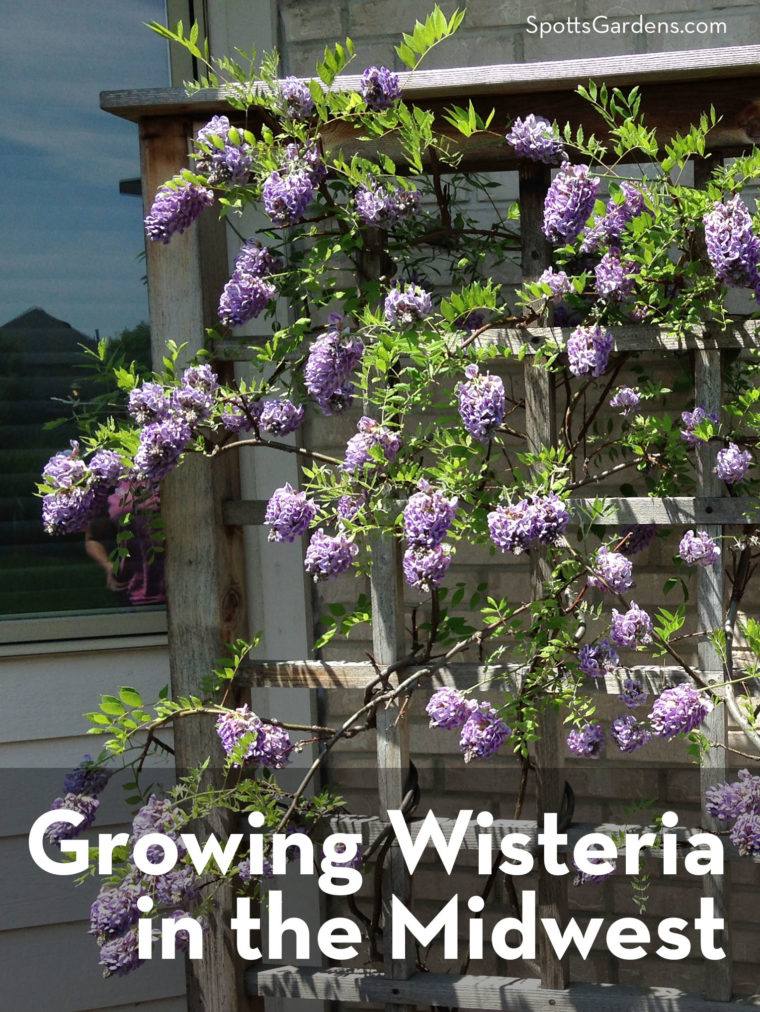 Growing Wisteria in the Midwest