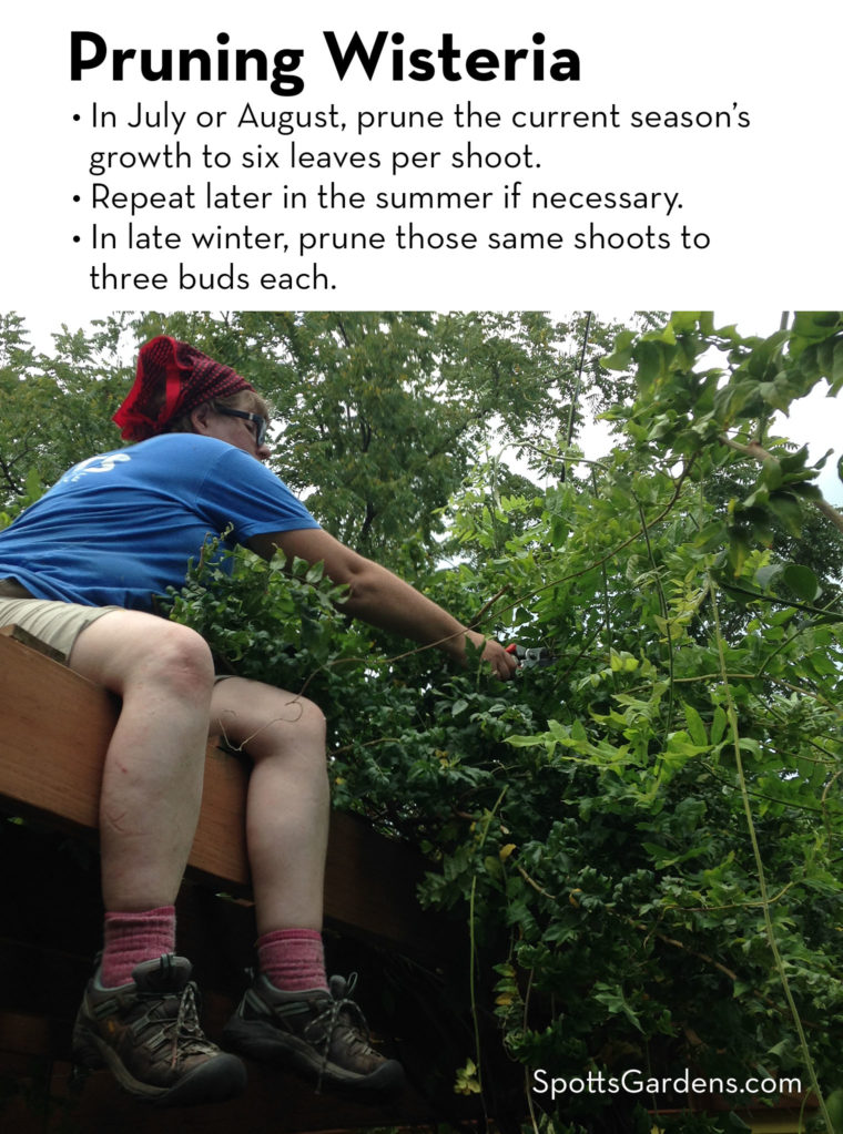 Pruning Wisteria