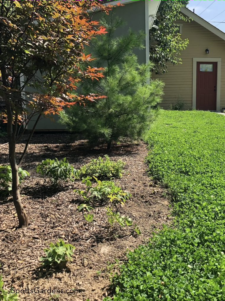 Clover substitutes for turf grass in this lawn