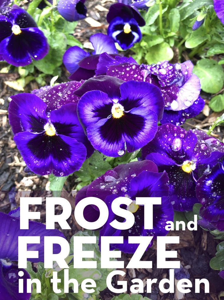 Frost and Freeze in the Garden