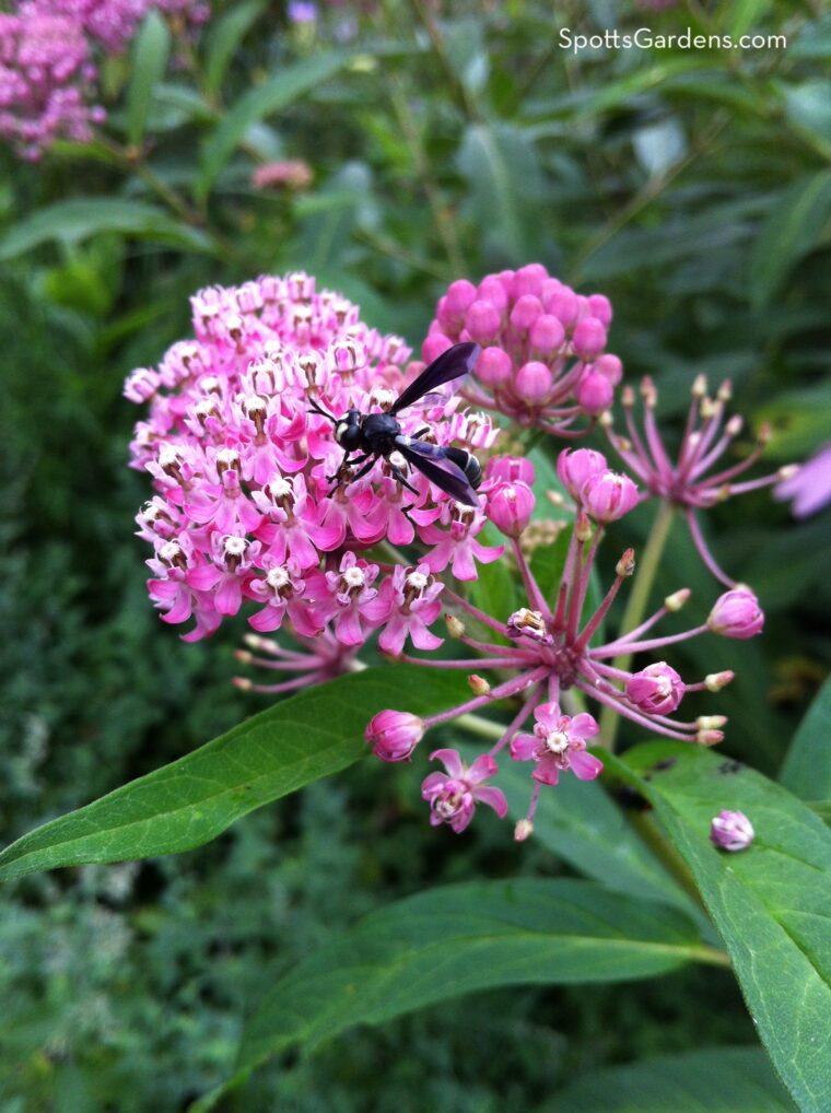 Wasp on swamp milkweed