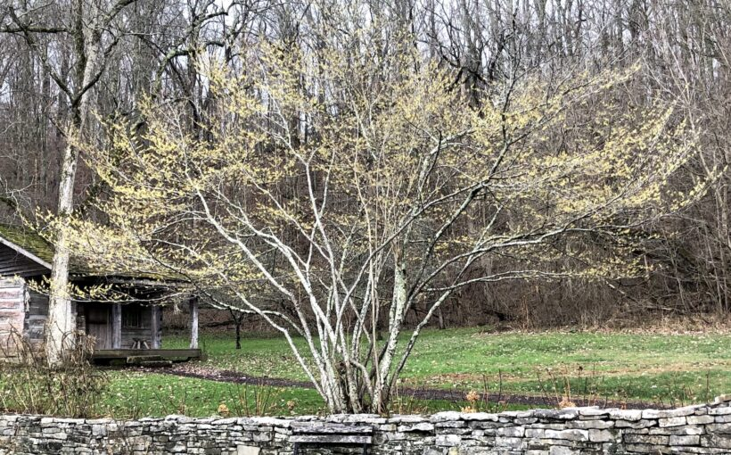 Dormant Pruning Trees and Shrubs in Late Winter