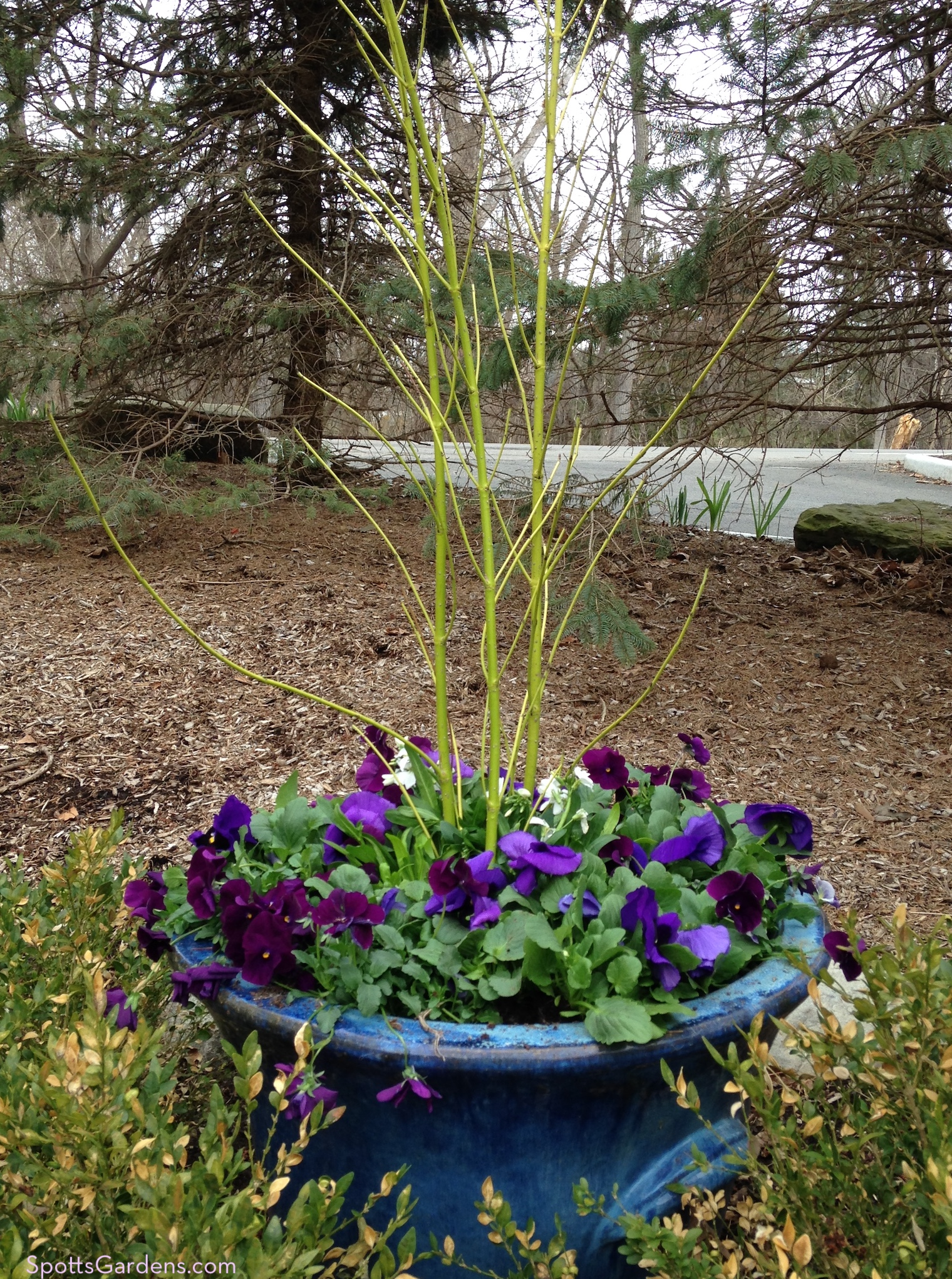 Purple pansies and yellow twigs in blue pot