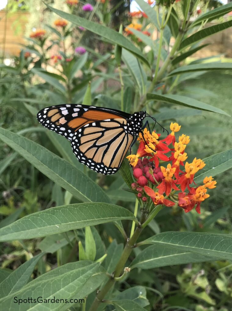 Butterfly and annual milkweed