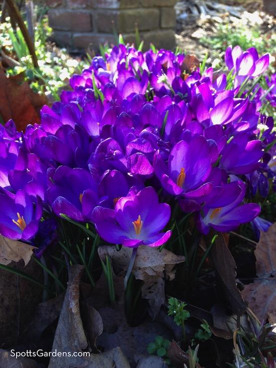 Crocus flowers from bulbs