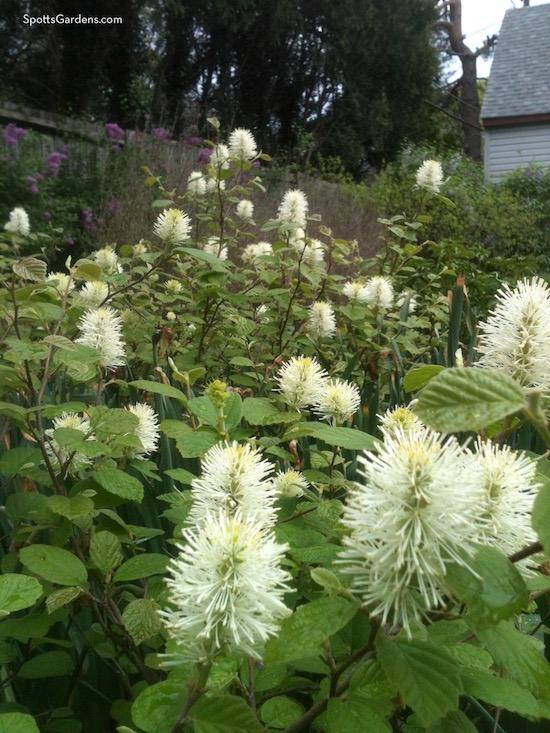 Fothergilla in bloom