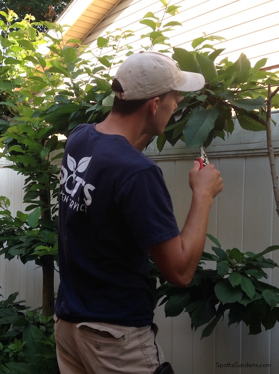 Man pruning espalier fruit tree
