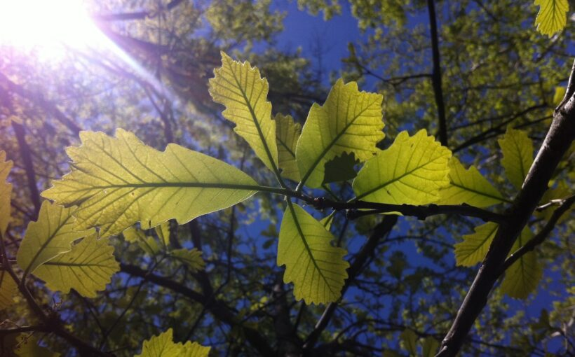 Choosing Shade Trees for Midwestern Gardens