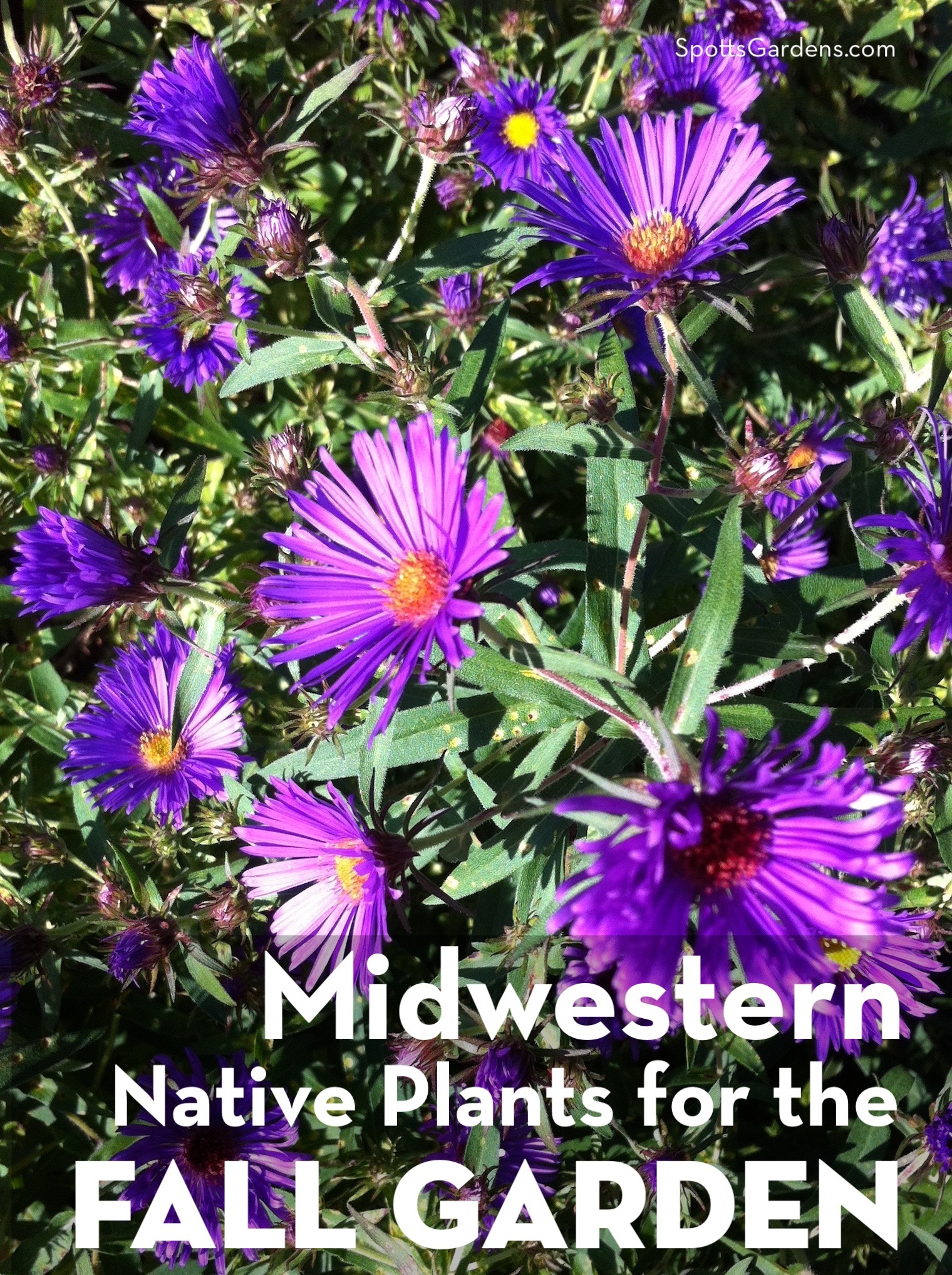 Midwestern Native Plants for the Fall Garden