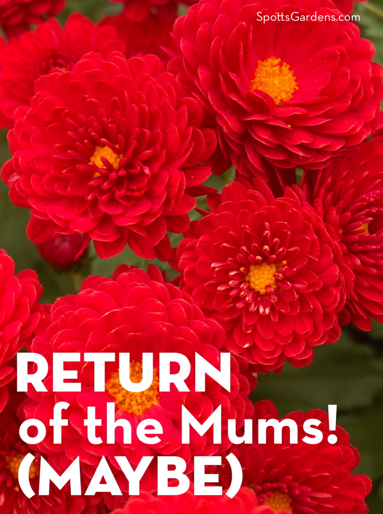 Return of the Mums! (Maybe)